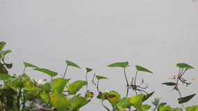 Dragonflies flying over the reservoir stock footage