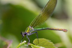 The dragonflies have a very voluminous head, the eyes made up of about 50,000 ommatidia and relatively short antennae; the two pai stock photography