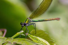 The dragonflies have a very voluminous head, the eyes made up of about 50,000 ommatidia and relatively short antennae; the two pai royalty free stock photography