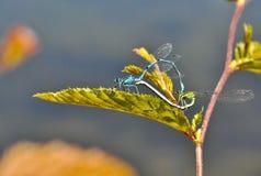 Dragonflies i Damselflies dekatyzuje czarodziejskiej kawalerii, obrazy stock