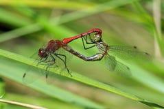 dragonflies krycia Fotografia Royalty Free