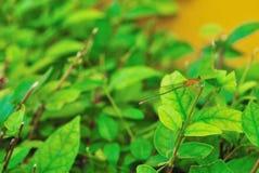 Dragonflies które wtykają gałąź drzewo zdjęcie royalty free