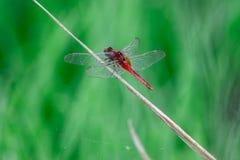 Dragonflies latają w wyspy zieleni pola zieleni treetops z powrotem Obrazy Royalty Free