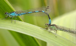 Dragonflies in love Stock Image