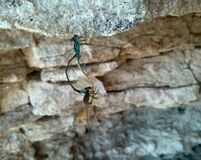 Dragonflies in love wild life royalty free stock photos