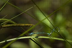 Dragonflies mating Royalty Free Stock Photos
