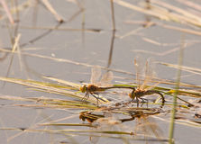 Dragonflies mating. Two Dragonflies (Anisoptera) after mating, while the male still holds on the female, she is busy laying the eggs in the shallow waters of a Stock Photos