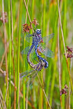 Dragonflies mating. Dragonflies, blue-eyed Darner,on grass ,mating Stock Photography