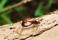 Dragonflies mating couple stock photos