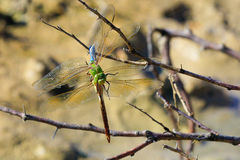 Dragonflies  mating season Stock Photography