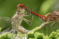 Dragonflies mating on a tree branch royalty free stock photography