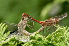 Dragonflies mating on a tree branche. Two red and brown dragonflies mating on a green tree branch in summer time Royalty Free Stock Photography
