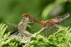 Dragonflies matuje na drzewnym branche fotografia stock