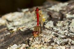 2 dragonflies meadowhawk прикрепленного в Sunapee, Нью-Гэмпшир Стоковые Изображения