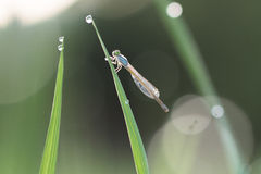 Dragonflies morning. Dragonfly in the rice fields at dawn Royalty Free Stock Photo