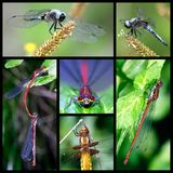 Dragonflies mosaic Royalty Free Stock Images
