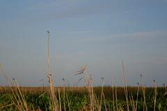 Dragonflies na bambusie zdjęcia stock