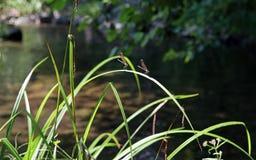 Dragonflies na brzeg rzeki obraz royalty free