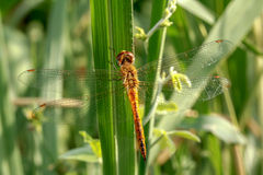 Dragonflies natural Royalty Free Stock Photography