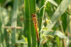 Dragonflies naturalni fotografia royalty free