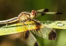 Dragonflies in Nature. Dragonfly Yellow-winged darter (Sympetrum flaveolum Royalty Free Stock Photos
