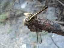 Dragonflies perched on wooden royalty free stock photo