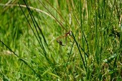 Dragonflies przylegają wpólnie na trawa trzonach, tworzy kształt serce obrazy stock