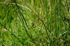 Dragonflies przylegają wpólnie na trawa trzonach, zaczyna kierowego kształt fotografia royalty free