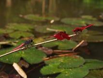 dragonflies Stock Image