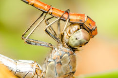 Dragonflies Reproductive System Royalty Free Stock Images