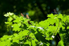 Dragonflies resting on leafs in forest Royalty Free Stock Image