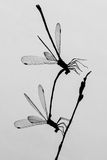 Dragonflies in Silhouette. Two Connected Dragonflies in Silhouette Stock Photos