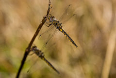 Dragonflies. On a stick in early spring Stock Photography