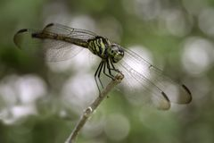 Dragonflies stick to the ends of branches. With white bokeh as background.soft focus stock image