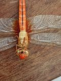 Dragonfly. Dragonflies (suborder Anisoptera) are heavy-bodied, strong-flying insects that hold their wings horizontally both in flight and at rest. By contrast royalty free stock photography