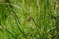 Dragonflies trzymają wpólnie na trawa trzonach obraz royalty free