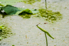 Dragonflies. Two dragonflies at a lake Royalty Free Stock Images