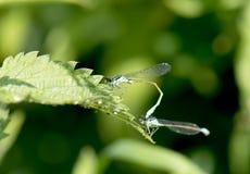 Dragonflies Royalty Free Stock Photos