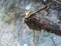 Dragonflies umieszczający na drewnianym obrazy royalty free