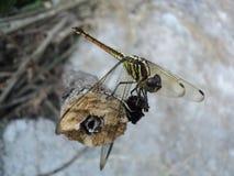 Dragonflies umieszczaj?cy na drewnianym zdjęcia stock
