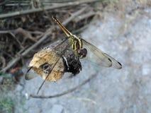 Dragonflies umieszczaj?cy na drewnianym zdjęcia royalty free