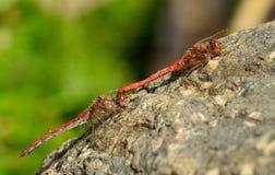 Dragonflies w kotelnia rytuale zdjęcie stock