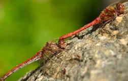 Dragonflies w kotelnia rytuale zdjęcie royalty free
