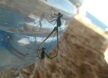 Dragonflies w miłości dzikim życiu obraz stock