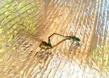Dragonflies w miłości dzikim życiu fotografia royalty free