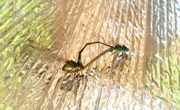 Dragonflies w miłości dzikim życiu zdjęcia stock