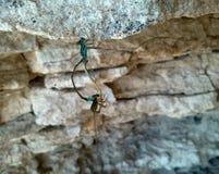 Dragonflies w miłości dzikim życiu zdjęcia royalty free