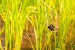 Dragonflies w ryżowych polach obrazy royalty free