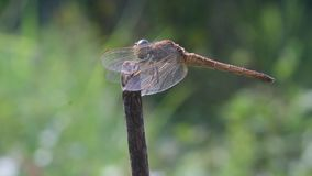 Dragonflies, dragonflies are waiting for prey on twigs. Wallace`s flying frog, frogs, tree frogs, close up, amphibians Wallace`s flying frog, frogs, tree frogs stock video