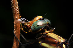 Dragonflies were eating prey Stock Images